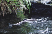 Salmon Return to urban Johnson Creek, SE Portland
