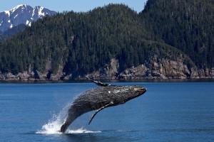 A humpback whale breaches in Kenai Fjords National Park, Alaska, USA