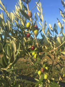 A close up of olives growing on a tree in Oregon.