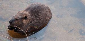 Beaver - Photo: Jim Ekclund