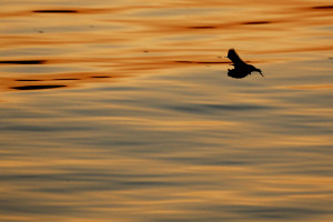 Bat flying over the water