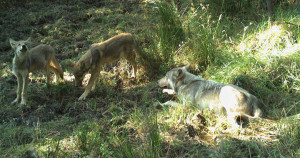 White River wolf pack pups